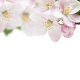 Σύνορα λουλουδιών της Apple Στοκ Εικόνες