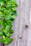 Σύνορα της σαλάτας καλαμποκιού στοκ φωτογραφίες