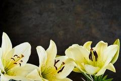 Σύνορα του όμορφου λεμονιού - κίτρινοι κρίνοι ημέρας Στοκ Φωτογραφία