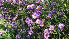 Σύνορα των φωτεινών πορφυρών λουλουδιών στο θερινό κήπο στοκ φωτογραφία