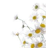 σύνορα chamomile στοκ φωτογραφία με δικαίωμα ελεύθερης χρήσης