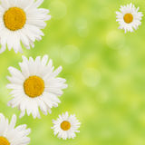 σύνορα chamomiles πράσινα Στοκ φωτογραφία με δικαίωμα ελεύθερης χρήσης