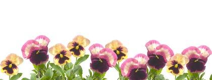 σύνορα viols Στοκ Φωτογραφία