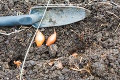 Σύνολα κρεμμυδιών που παίρνουν έτοιμα να πάει στον κήπο Στοκ φωτογραφία με δικαίωμα ελεύθερης χρήσης