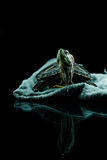Σύνοδος χελωνών Στοκ Φωτογραφίες