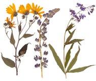 Σύνολο άγριων ξηρών πιεσμένων λουλουδιών και φύλλων Στοκ εικόνα με δικαίωμα ελεύθερης χρήσης