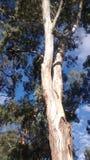 Σύνολο ήλιων της νότιας αυστραλιανό Αδελαΐδα δέντρων γόμμας Στοκ φωτογραφία με δικαίωμα ελεύθερης χρήσης