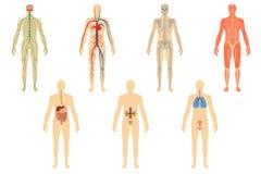 Σύνολο ανθρώπινων οργάνων και συστημάτων Στοκ εικόνα με δικαίωμα ελεύθερης χρήσης
