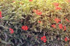 Σύνολο εγκαταστάσεων των κόκκινων λουλουδιών στον κήπο Ντουμπάι, Μέση Ανατολή θαύματος Στοκ Εικόνες