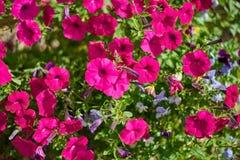 Σύνολο εικόνας των ζωηρόχρωμων λουλουδιών πετουνιών Στοκ Εικόνα