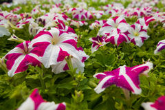 Σύνολο εικόνας των ζωηρόχρωμων λουλουδιών hybrida πετουνιών πετουνιών Στοκ Εικόνες