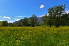 Σύνολο λιβαδιών των ανθίζοντας κίτρινων λουλουδιών Στοκ φωτογραφία με δικαίωμα ελεύθερης χρήσης