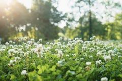 Σύνολο λιβαδιών των λουλουδιών τριφυλλιού Στοκ εικόνες με δικαίωμα ελεύθερης χρήσης
