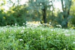 Σύνολο λιβαδιών των λουλουδιών τριφυλλιού Στοκ φωτογραφία με δικαίωμα ελεύθερης χρήσης