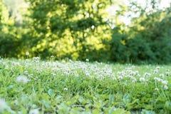 Σύνολο λιβαδιών των λουλουδιών τριφυλλιού Στοκ Εικόνα