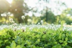 Σύνολο λιβαδιών των λουλουδιών τριφυλλιού Στοκ Φωτογραφία