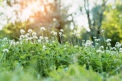 Σύνολο λιβαδιών των λουλουδιών τριφυλλιού Στοκ Εικόνες