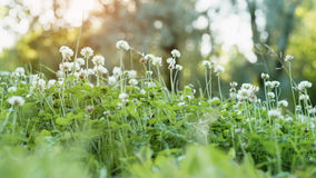 Σύνολο λιβαδιών των λουλουδιών τριφυλλιού Στοκ Φωτογραφίες