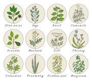 Σύνολο καρυκευμάτων, χορταριών και officinale εικονιδίων εγκαταστάσεων θεραπεύοντας φυτά Στοκ Εικόνα