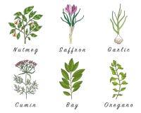 Σύνολο καρυκευμάτων, χορταριών και officinale εικονιδίων εγκαταστάσεων θεραπεύοντας φυτά Στοκ φωτογραφία με δικαίωμα ελεύθερης χρήσης