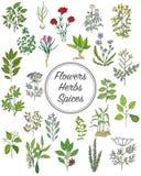Σύνολο καρυκευμάτων, χορταριών και officinale εικονιδίων εγκαταστάσεων θεραπεύοντας φυτά Στοκ Φωτογραφίες