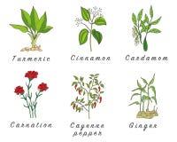 Σύνολο καρυκευμάτων, χορταριών και officinale εικονιδίων εγκαταστάσεων θεραπεύοντας φυτά Στοκ Εικόνες