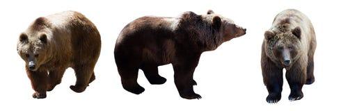 Σύνολο καφετιών αρκούδων Στοκ Εικόνες