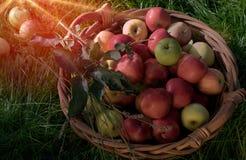 Σύνολο καλαθιών των μήλων στην ηλιοφάνεια Στοκ Εικόνα