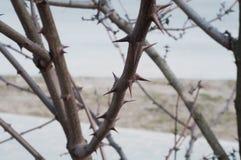 Σύνολο κλάδων δέντρων των αιχμηρών και απειλητικών αγκαθιών στοκ φωτογραφία
