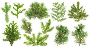 Σύνολο κλάδων κωνοφόρων δέντρων Κομψός κώνος έλατου thuja πεύκων Στοκ Εικόνες