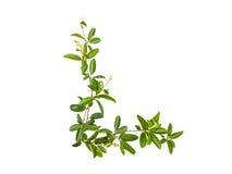 Σύνολο λουλουδιού αναρριχητικών φυτών που απομονώνεται Στοκ Φωτογραφία