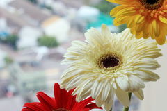 Σύνολο λουλουδιού Gerbera Στοκ εικόνα με δικαίωμα ελεύθερης χρήσης