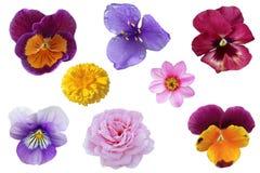 Σύνολο λουλουδιών Pansy Στοκ εικόνα με δικαίωμα ελεύθερης χρήσης