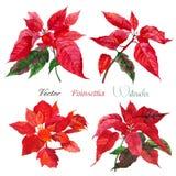 Σύνολο λουλουδιών Poinsettia επίσης corel σύρετε το διάνυσμα απεικόνισης Στοκ Φωτογραφία