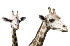 Σύνολο που απομονώνεται giraffe εικόνας Στοκ Φωτογραφίες