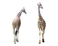 Σύνολο που απομονώνεται giraffe εικόνας Στοκ Φωτογραφία