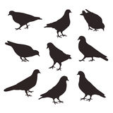 Σύνολο πουλιών τοποθέτησης περιστεριών Στοκ Εικόνες