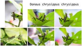 Σύνολο σαφούς πεταλούδας Caterpillar τιγρών που τρώει το γιγαντιαίο φύλλο Calotropis Στοκ Εικόνες