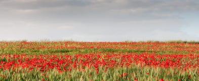 Σύνολο τομέων με το κόκκινο poppie anemones Στοκ εικόνες με δικαίωμα ελεύθερης χρήσης