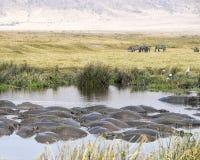 Σύνολο των hippos σε μια τρύπα ποτίσματος με Zebras και των πουλιών στο υπόβαθρο Στοκ φωτογραφία με δικαίωμα ελεύθερης χρήσης