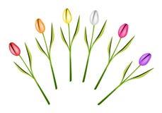 Σύνολο φρέσκων λουλουδιών τουλιπών στην άσπρη ανασκόπηση Στοκ εικόνα με δικαίωμα ελεύθερης χρήσης