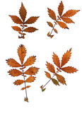 Σύνολο φύλλων φθινοπώρου που απομονώνεται στο άσπρο υπόβαθρο Στοκ Φωτογραφίες