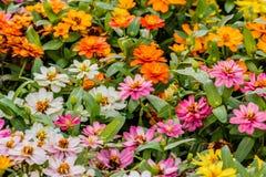 Σύνολο χρώματος λουλουδιών της Daisy Στοκ Εικόνες