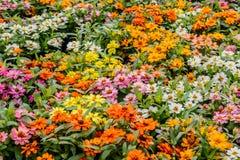 Σύνολο χρώματος λουλουδιών της Daisy Στοκ φωτογραφία με δικαίωμα ελεύθερης χρήσης