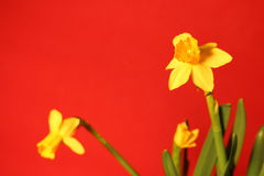 Σύνολο όμορφων κίτρινων daffodils στο κόκκινο υπόβαθρο στοκ εικόνα με δικαίωμα ελεύθερης χρήσης