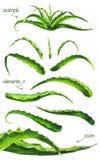 Σύνολο aloe watercolor φύλλων Ελεύθερη απεικόνιση δικαιώματος