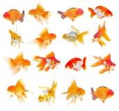 Σύνολο Goldfish στο άσπρο υπόβαθρο Στοκ Εικόνες