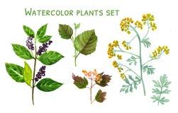 Σύνολο Watercolor εγκαταστάσεων με τα μούρα και τα λουλούδια Στοκ Εικόνες