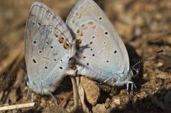 Σύντροφος μπλε πεταλούδων στοκ εικόνες
