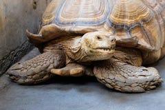 Σύρσιμο χελωνών Στοκ φωτογραφία με δικαίωμα ελεύθερης χρήσης